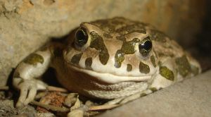 A Toad's Smile by Sphenacodon
