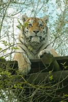 Siberian Tiger by Just-the-way-Im-not