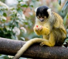 Black Capped Squirrel Monkey by andyjh07