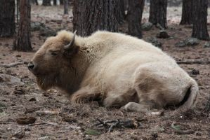 White Bison by icantthinkofaname-09