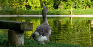Bucolic goose by fb101