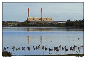 Canadian Geese by carterr