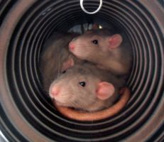 rats in a tube by lily-inabottle