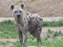 Spotted Hyena 04 by animalphotos