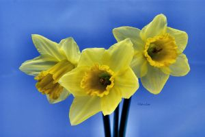 Blue Daffodils by Deb-e-ann