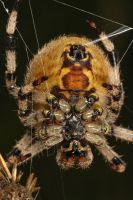 adult female orb spider webing by macrojunkie