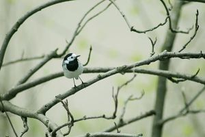 Wagtail by AlexEdg