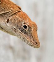 Portrait of an Anole by craftworker
