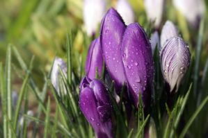 Violet Crocuses by AlinaKurbiel