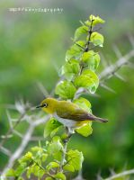 Oriental White Eye by pun2et