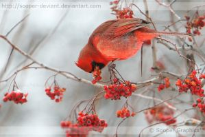 Northern Cardinal 8974 by Sooper-Deviant