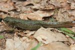Salamander by Andre-anz
