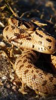 Angry Gopher snake by Lord-FurFur