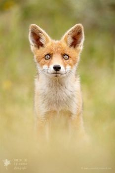 Hungry Eyes - Red Fox Kit by thrumyeye