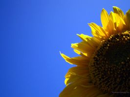 sunflower by therealarien