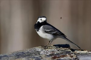 White Wagtail 1 by Starfall00