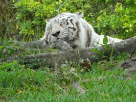 White Tiger Naptime by MissMachineArt