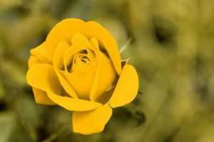 just a wild rose in yellow by saridonas