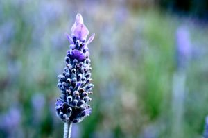 lonely lavender by 08brooky80