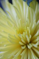 Yellow Mum by debgay