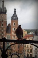 Cracow pigeon by PKphotos