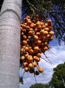 Foxtail  Palm Tree Berries by JAV1966