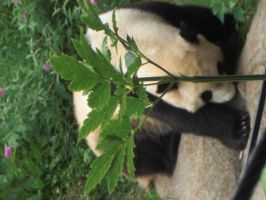Panda 2-National Zoo D.C. by ForeverASickKid