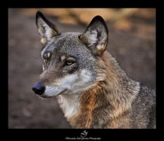 ...Grey Wolf 3... by canismaioris