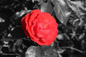 Red flower by HSChacko