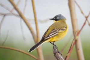 Yellow Wagtail by Dunadan-from-Bag-End