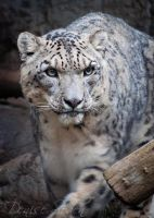 A Snow Leopard's Gaze by DeniseSoden