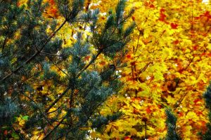 Evergreen and Maple by S-H-Photography
