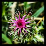 Wicked Thistle by TropicalxLondon