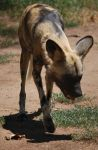 African Wild Dog Stock 13 by HymnsStock