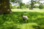 Baa Lamb at Tissington by Candyfloss-Unicorn