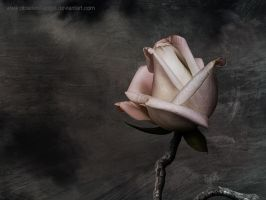 My heart the rose - wallpaper by obselete-angel