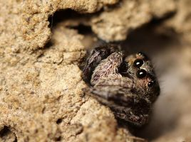 shy jumping spider by bredli84
