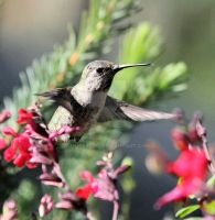 Hummingbird by UlisesGirl