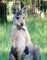 Mother Eastern Wallaroo by BreeSpawn
