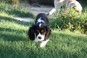 Louis, Cavalier King Charles Spaniel by icantthinkofaname-09