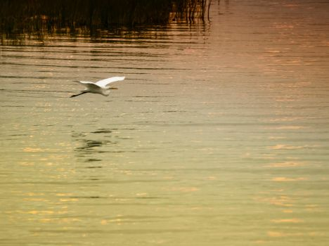Great Egret and the sun by Art-hax