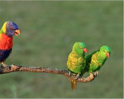 Twins: Scaly-breasted Lorikeets. by Firey-Sunset