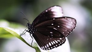 Black Butterfly by mephisto23