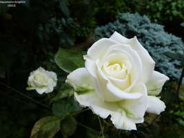 White Roses by Aquamarin-Graphics