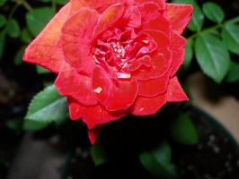 Red Rose by UrsulaPatch