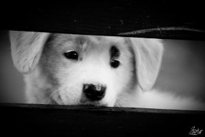 Pup by Gibbich