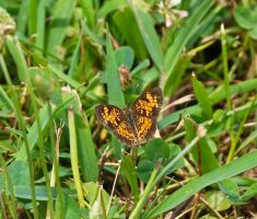 Pearl Crescent by SoOblivious