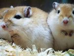 Gerbils Gettin' Cozy by DrawingMilan