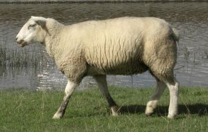 SAN07 Sheep Stock 2 by qroot-stock