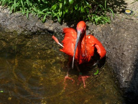 Scarlet Ibis by Mystic-Jay
